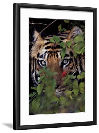 A Male Tiger In Bandhavgarh National Park-Steve Winter-Framed Photographic Print