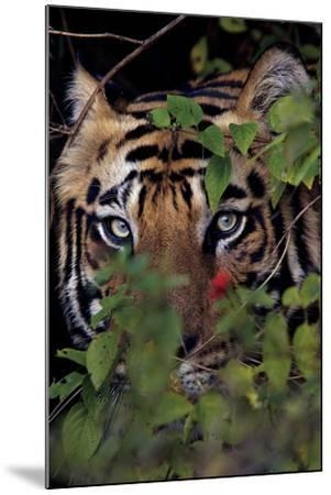A Male Tiger In Bandhavgarh National Park-Steve Winter-Mounted Photographic Print