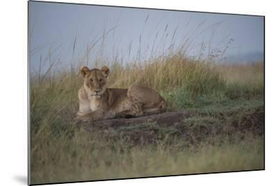A Female Lion, Panthera Leo, Lying In The Dry Grass-Andrew Coleman-Mounted Photographic Print