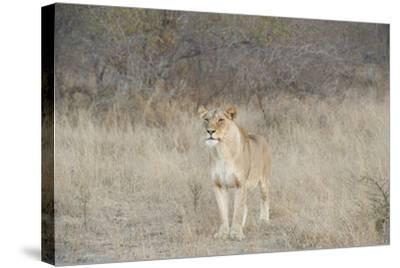 A Female Lion, Panthera Leo, Standing In The Dry Grass-Andrew Coleman-Stretched Canvas Print