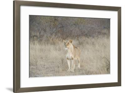 A Female Lion, Panthera Leo, Standing In The Dry Grass-Andrew Coleman-Framed Photographic Print