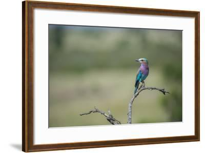 Lilac-Breasted Roller, Coracias Caudatus, Perching On A Branch-Andrew Coleman-Framed Photographic Print