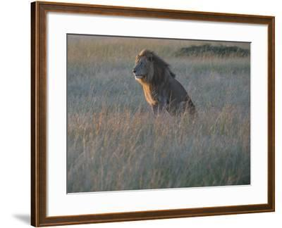 Sunlight On A Male Lion, Panthera Leo, Sitting In The Dry Grass-Andrew Coleman-Framed Photographic Print