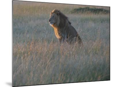 Sunlight On A Male Lion, Panthera Leo, Sitting In The Dry Grass-Andrew Coleman-Mounted Photographic Print