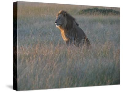 Sunlight On A Male Lion, Panthera Leo, Sitting In The Dry Grass-Andrew Coleman-Stretched Canvas Print