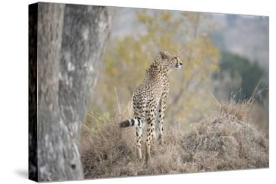 A Young Male Cheetah, Acinonyx Jubatus, Standing On A Mound-Andrew Coleman-Stretched Canvas Print