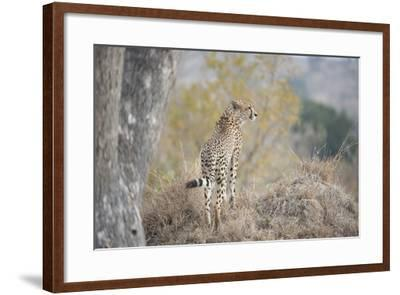 A Young Male Cheetah, Acinonyx Jubatus, Standing On A Mound-Andrew Coleman-Framed Photographic Print