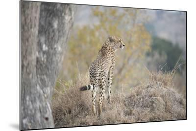 A Young Male Cheetah, Acinonyx Jubatus, Standing On A Mound-Andrew Coleman-Mounted Photographic Print