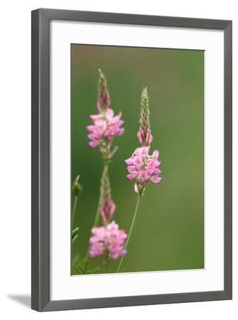 Common Sainfoin, Onobrychis Viciifolia-Jozsef Szentpeteri-Framed Photographic Print