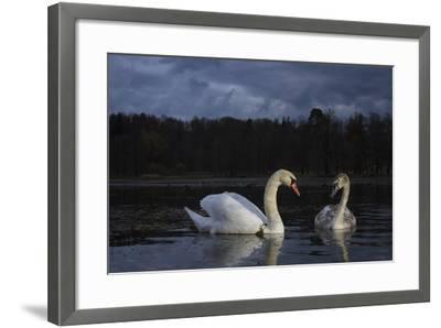 Mute Swan (Cygnus Olor), Adult And Juvenile Feeding At Twilight. Lower Silesia. Poland-Oscar Dominguez-Framed Photographic Print