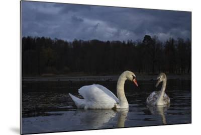 Mute Swan (Cygnus Olor), Adult And Juvenile Feeding At Twilight. Lower Silesia. Poland-Oscar Dominguez-Mounted Photographic Print