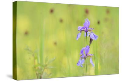 Siberian Iris (Iris Sibirica). Ramsar-Gebiet Ammersee. Upper Bavaria. Germany-Oscar Dominguez-Stretched Canvas Print