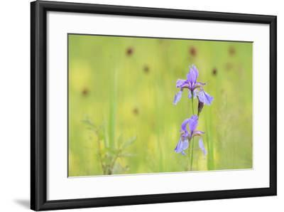 Siberian Iris (Iris Sibirica). Ramsar-Gebiet Ammersee. Upper Bavaria. Germany-Oscar Dominguez-Framed Photographic Print
