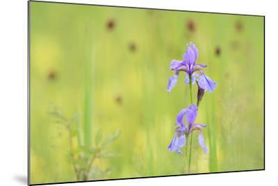 Siberian Iris (Iris Sibirica). Ramsar-Gebiet Ammersee. Upper Bavaria. Germany-Oscar Dominguez-Mounted Photographic Print