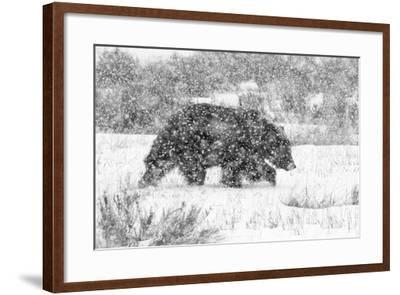 Male Grizzly Bear Walks Through Willow Flats During A Late Winter Storm In Grand Teton NP, Wyoming-Mike Cavaroc-Framed Photographic Print