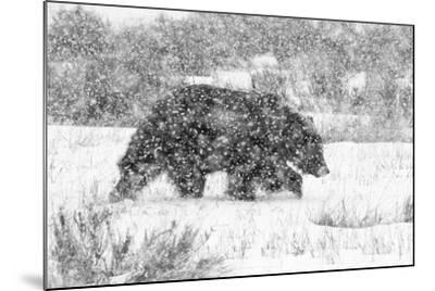 Male Grizzly Bear Walks Through Willow Flats During A Late Winter Storm In Grand Teton NP, Wyoming-Mike Cavaroc-Mounted Photographic Print