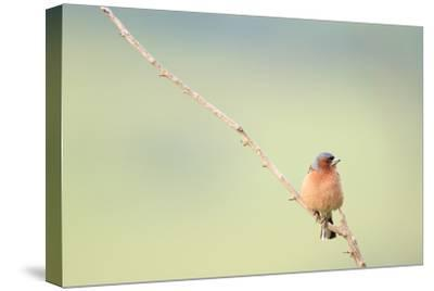 Chaffinch (Fringilla Coelebs) Male Perched On Branch. Central Balkan National Park. Bulgaria-Oscar Dominguez-Stretched Canvas Print