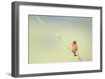 Chaffinch (Fringilla Coelebs) Male Perched On Branch. Central Balkan National Park. Bulgaria-Oscar Dominguez-Framed Photographic Print