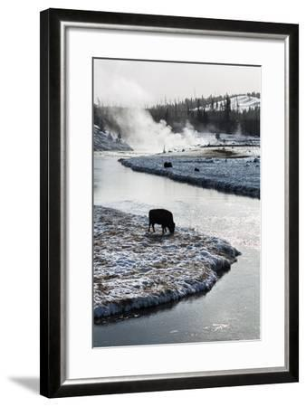 Bison Graze Along The Madison River In Yellowstone National Park In Winter-Ben Herndon-Framed Photographic Print