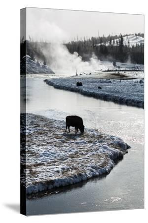 Bison Graze Along The Madison River In Yellowstone National Park In Winter-Ben Herndon-Stretched Canvas Print