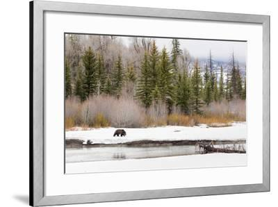 Grizzly Bear #760 Of Grand Teton National Park Walking Along The Buffalo Fork River, Wyoming-Mike Cavaroc-Framed Photographic Print