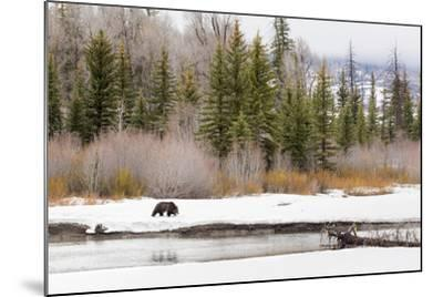 Grizzly Bear #760 Of Grand Teton National Park Walking Along The Buffalo Fork River, Wyoming-Mike Cavaroc-Mounted Photographic Print