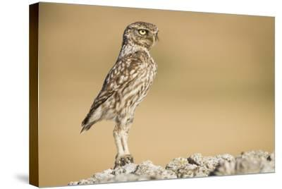 Little Owl (Athene Noctua) Head Stretched In An Alert Posture. Lleida Province. Catalonia. Spain-Oscar Dominguez-Stretched Canvas Print