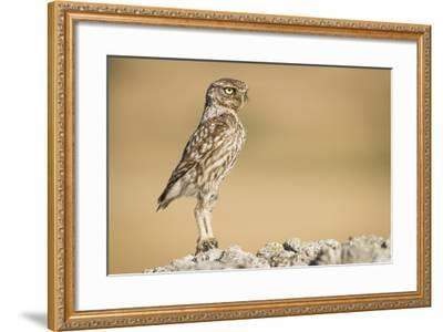 Little Owl (Athene Noctua) Head Stretched In An Alert Posture. Lleida Province. Catalonia. Spain-Oscar Dominguez-Framed Photographic Print