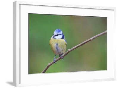 Blue Tit (Cyanistes Caeruleus) Perched On Branch. Barcelona. Catalonia. Spain-Oscar Dominguez-Framed Photographic Print