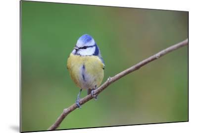 Blue Tit (Cyanistes Caeruleus) Perched On Branch. Barcelona. Catalonia. Spain-Oscar Dominguez-Mounted Photographic Print