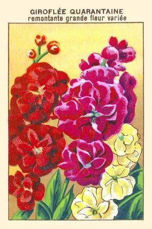 Giroflee Quarantaine Remontante Grande Fleur Variee--Framed Art Print