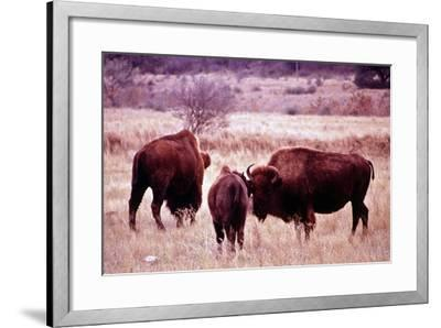 Buffalo In Meadow On Bell Ranch, 11/1972- The U.S. National Archives-Framed Art Print
