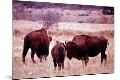 Buffalo In Meadow On Bell Ranch, 11/1972- The U.S. National Archives-Mounted Art Print