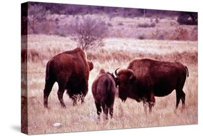 Buffalo In Meadow On Bell Ranch, 11/1972- The U.S. National Archives-Stretched Canvas Print