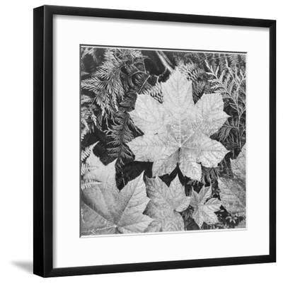 "Of Leaves From Directly Above ""In Glacier National Park"" Montana. 1933-1942-Ansel Adams-Framed Premium Giclee Print"