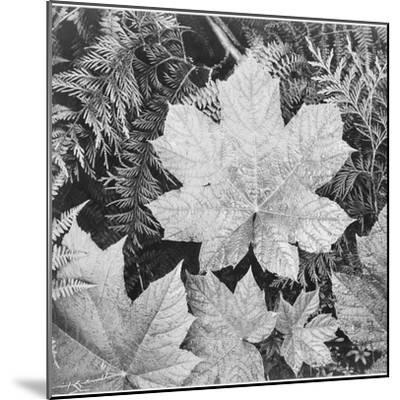 "Of Leaves From Directly Above ""In Glacier National Park"" Montana. 1933-1942-Ansel Adams-Mounted Premium Giclee Print"