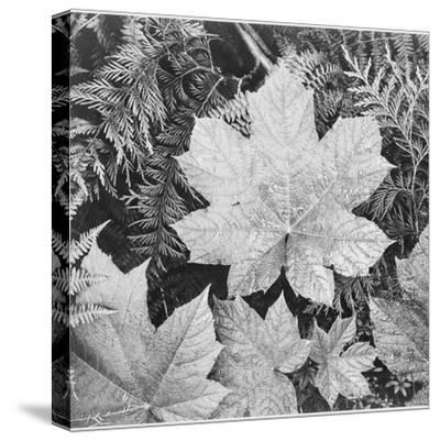 "Of Leaves From Directly Above ""In Glacier National Park"" Montana. 1933-1942-Ansel Adams-Stretched Canvas Print"