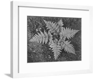 "Of Ferns From Directly Above ""In Glacier National Park"" Montana. 1933-1942-Ansel Adams-Framed Art Print"