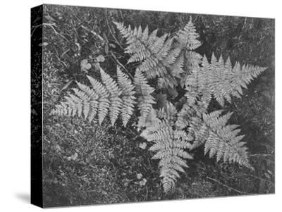 "Of Ferns From Directly Above ""In Glacier National Park"" Montana. 1933-1942-Ansel Adams-Stretched Canvas Print"
