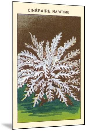 Cineraire Maritime--Mounted Art Print