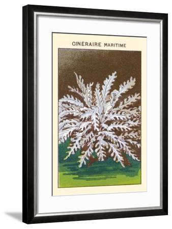 Cineraire Maritime--Framed Art Print