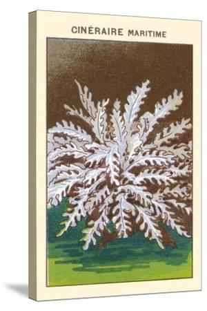 Cineraire Maritime--Stretched Canvas Print