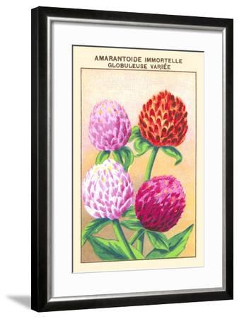 Amarantoide Immortelle Globuleuse Variee--Framed Art Print