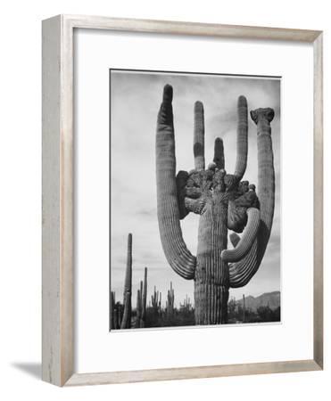 "View Of Cactus And Surrounding Area ""Saguaros Saguaro National Monument"" Arizona 1933-1942-Ansel Adams-Framed Art Print"