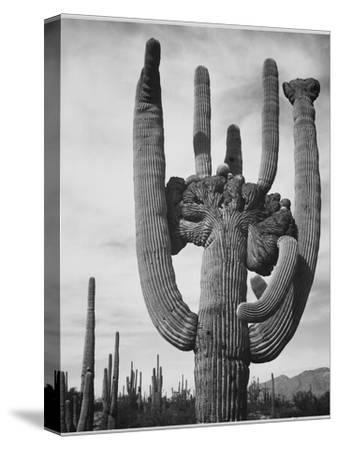 "View Of Cactus And Surrounding Area ""Saguaros Saguaro National Monument"" Arizona 1933-1942-Ansel Adams-Stretched Canvas Print"