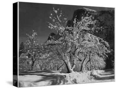 "Trees With Snow On Branches ""Half Dome Apple Orchard Yosemite"" California. April 1933. 1933-Ansel Adams-Stretched Canvas Print"