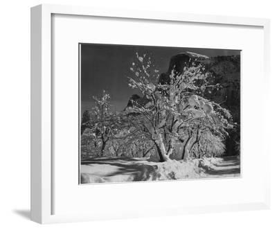 """Trees With Snow On Branches """"Half Dome Apple Orchard Yosemite"""" California. April 1933. 1933-Ansel Adams-Framed Art Print"""