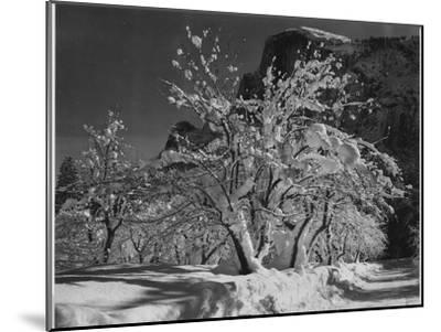 """Trees With Snow On Branches """"Half Dome Apple Orchard Yosemite"""" California. April 1933. 1933-Ansel Adams-Mounted Art Print"""
