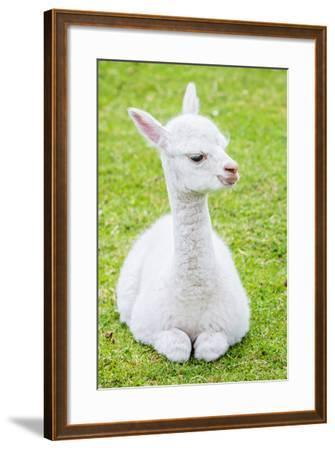 Cute Baby Alpaca- sinagrafie-Framed Photographic Print