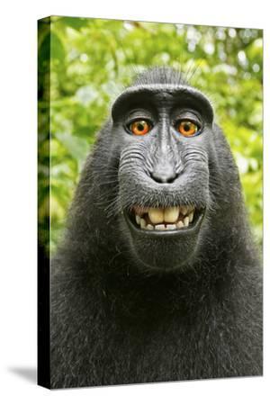Monkey Selfie-David Slater-Stretched Canvas Print